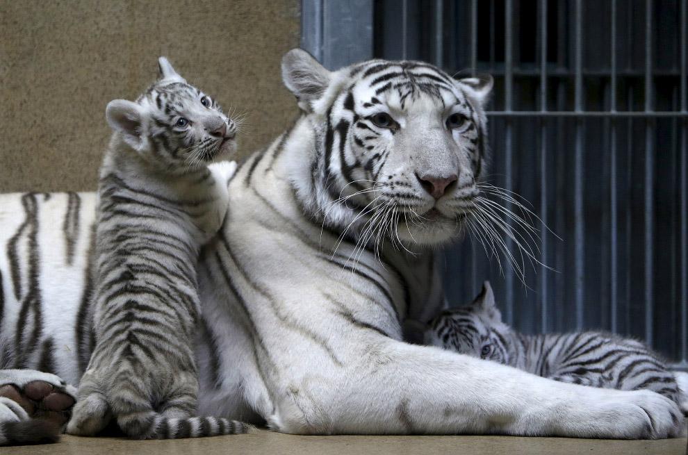 Семья индийских белых тигров в зоопарке, Чехия