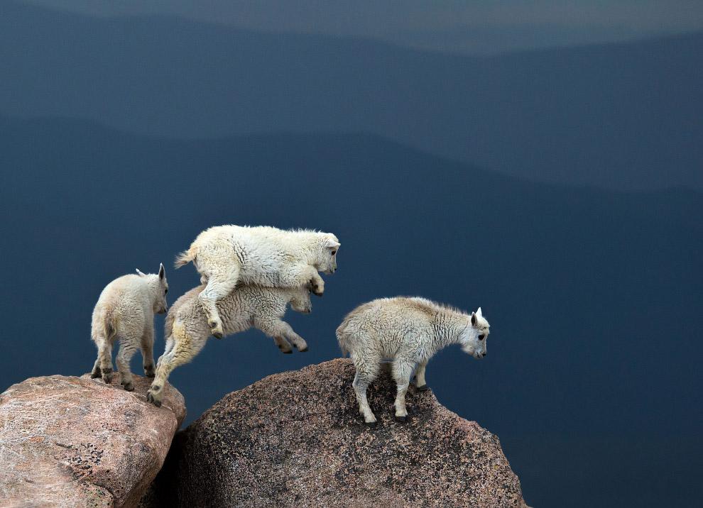 Козы на вершине горы Эванс в Колорадо