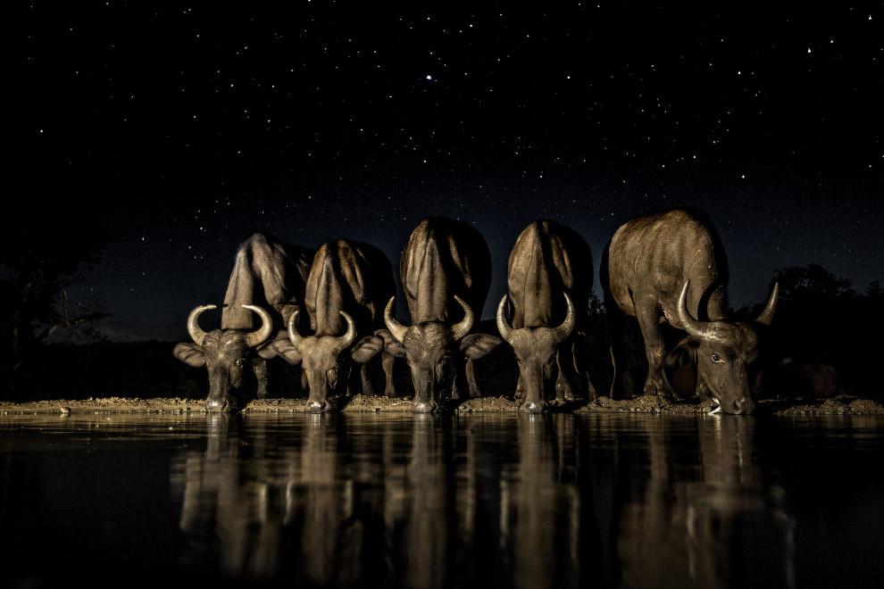 Буйволы ночью на водопое