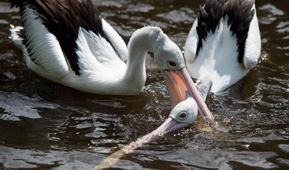 Пеликаны в парке птиц в Вальсроде, Германия