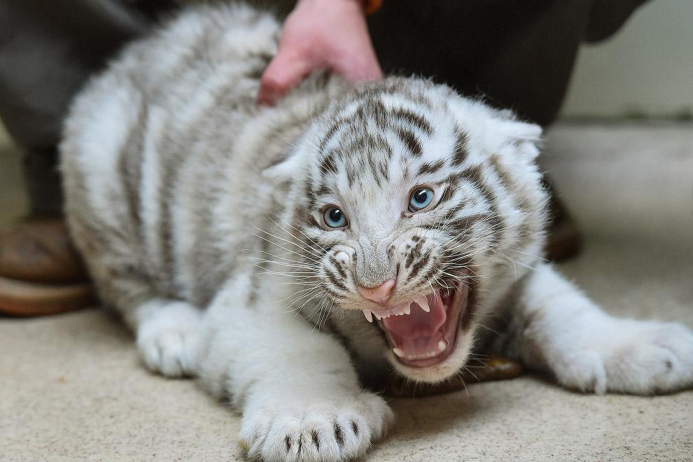 Ветеринарный осмотр тигренка в зоопарке в Чехии
