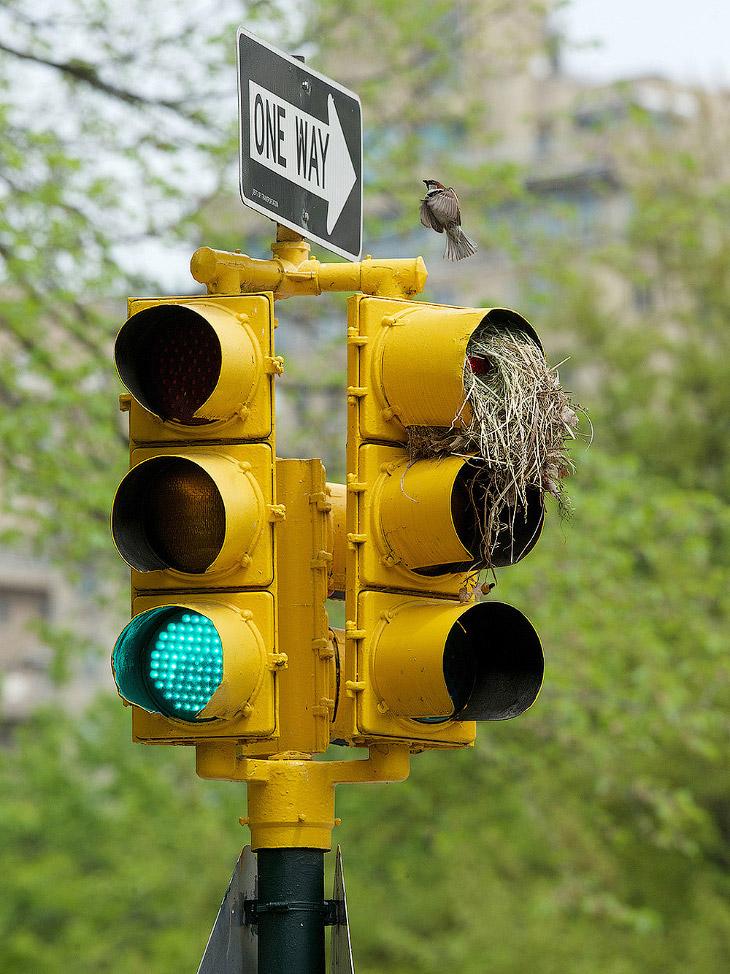 Птицы построили гнезда в светофорах в Центральном парке на Манхэттене