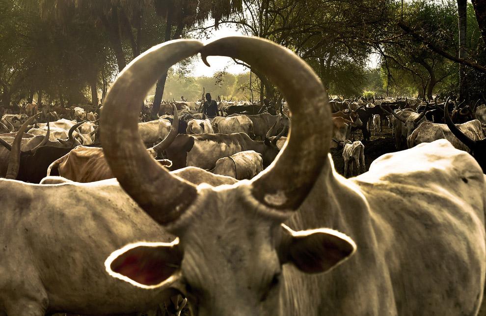 Коровы в Южном Судане