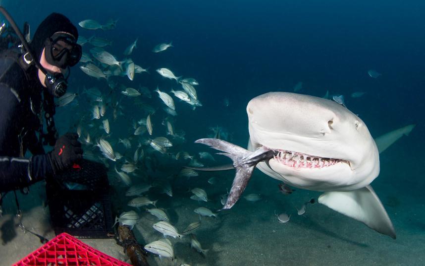 Кормление акул у берегов Флориды
