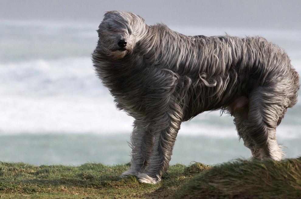 Бородатый колли на ветру на побережье в Корнуолле, Англия