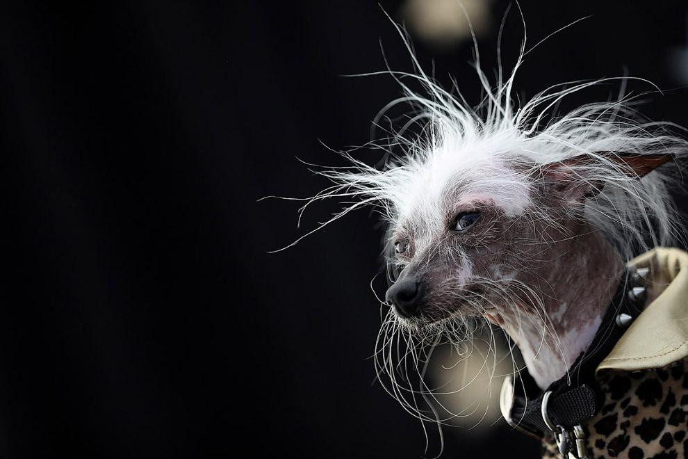 Самая уродливая собака в мире 2016