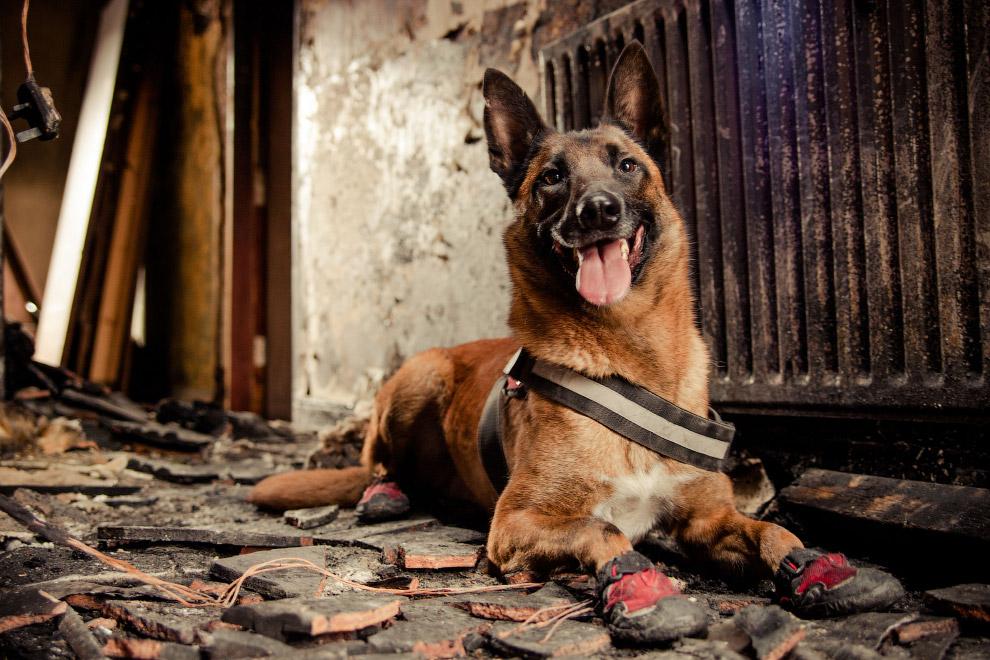 Собака-пожарный