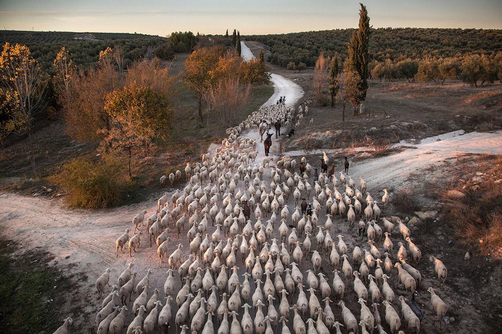 Пастух и овцы в Испании