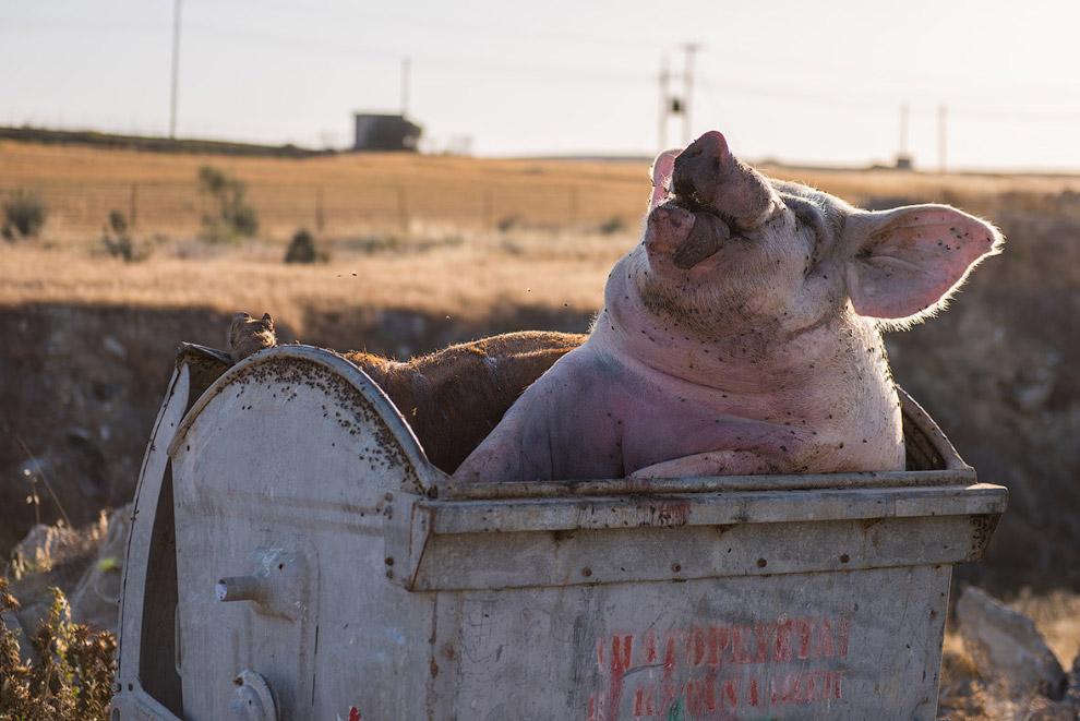 Мертвая свинья в мусорном ведре как изображение условий утилизации отходов в хозяйствах на окраине Никосии, Кипр