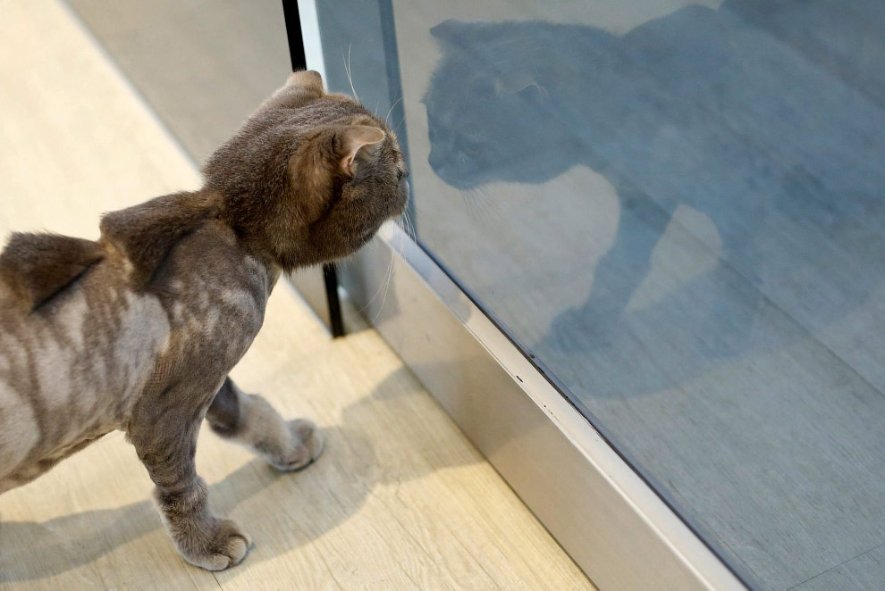 Кошек, конечно, не рекомендуется стричь, для них это сильный стресс