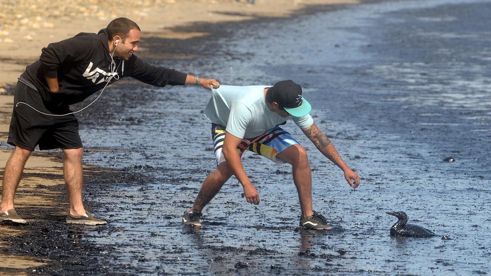 Волонтёры вытаскивают из разлитой нефти птиц, штат Калифорния