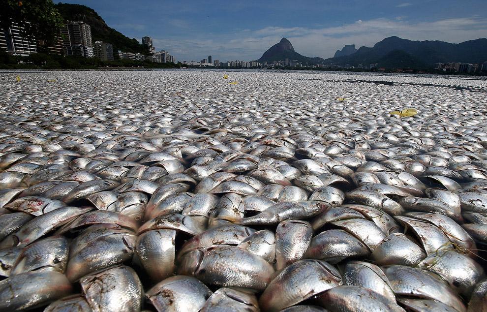 Море мертвой рыбы в Рио-де-Жанейро, Бразилия