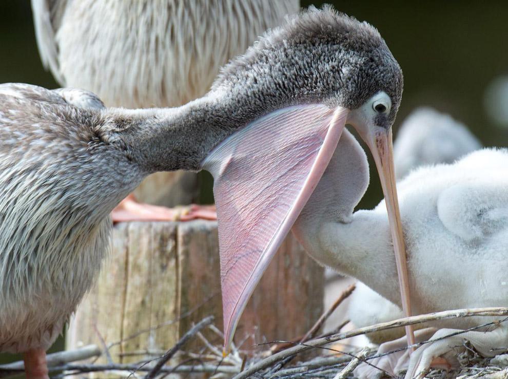 Пеликан кормит своих детенышей