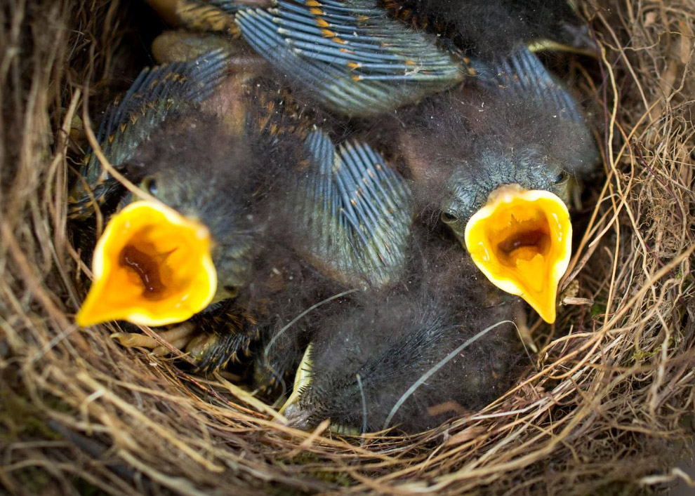 Малиновки ждут родителей в гнезде