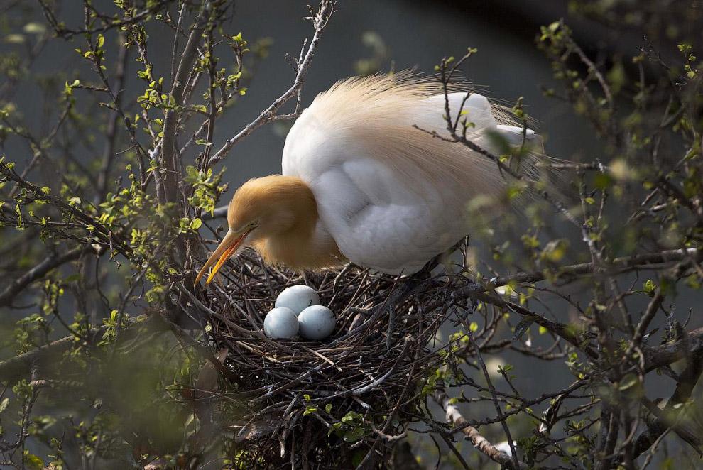 Гнездо цапли