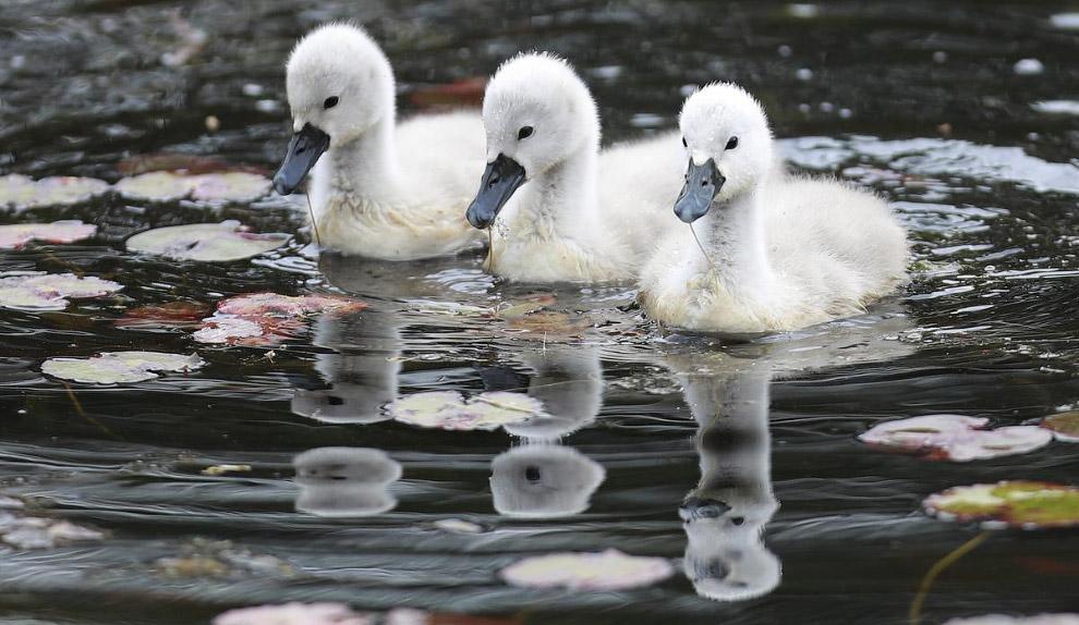 3 маленьких лебедя