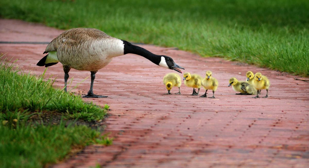 Гусиная семья