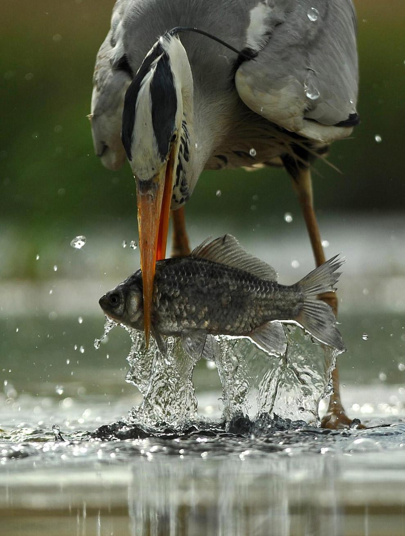 Серая цапля ловит рыбу