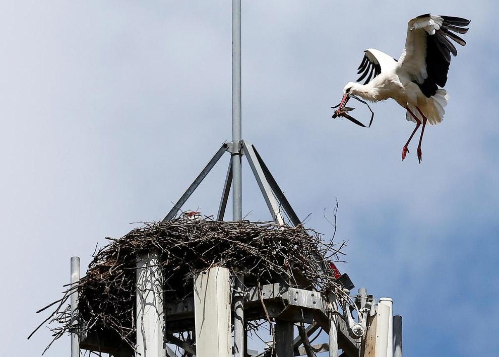 Гнездо белого аиста на сотовой вышке