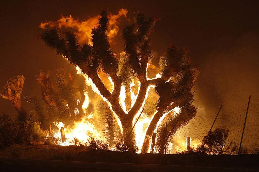 Горящие деревья Джошуа
