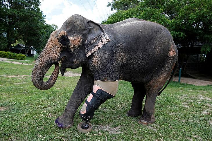 Протез для слона