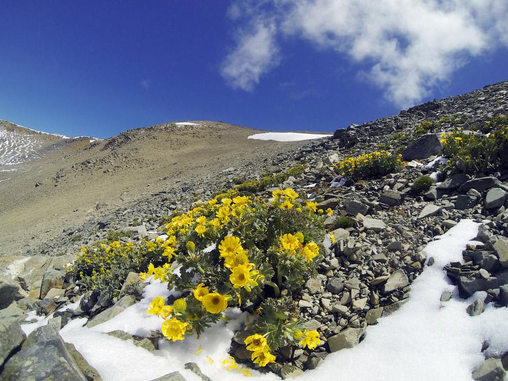 Эти цветы – одни из самых высоко живущих лютиков в мире