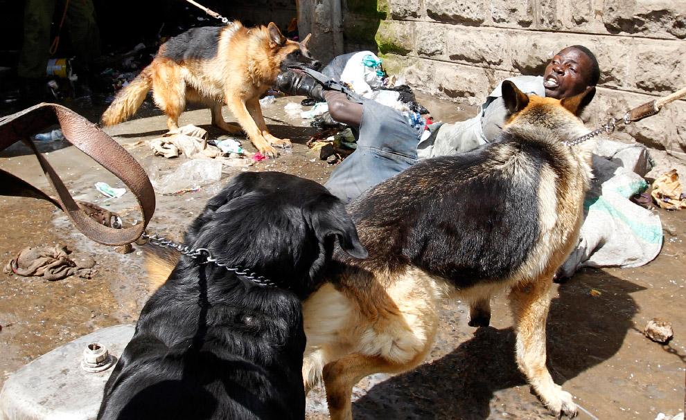 Полицейские собаки находят и атакуют предполагаемого вора