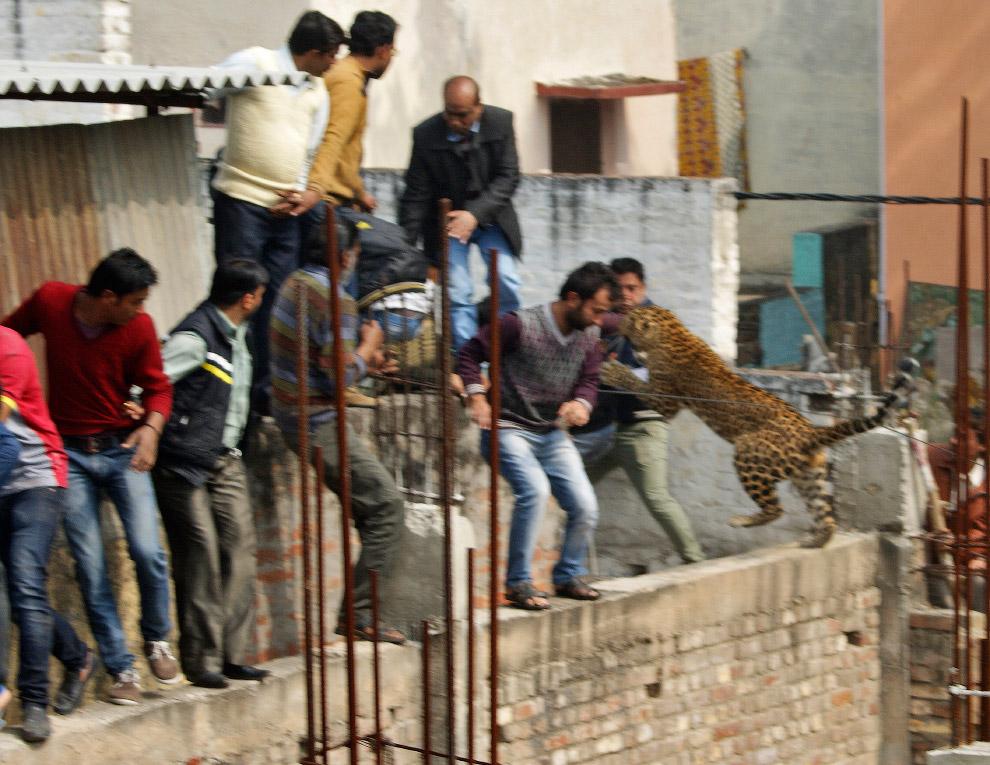 Нападение леопарда в северном индийском штате Уттар-Прадеш