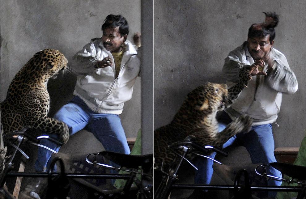Это известная фотография нападения леопарда в Индии