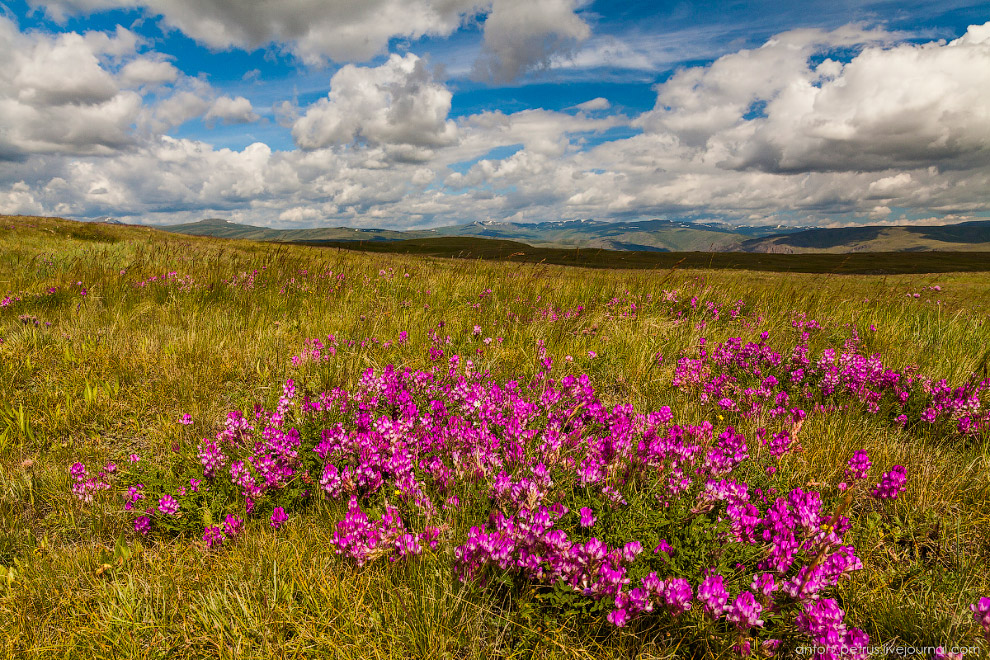 Цветущий Алтай