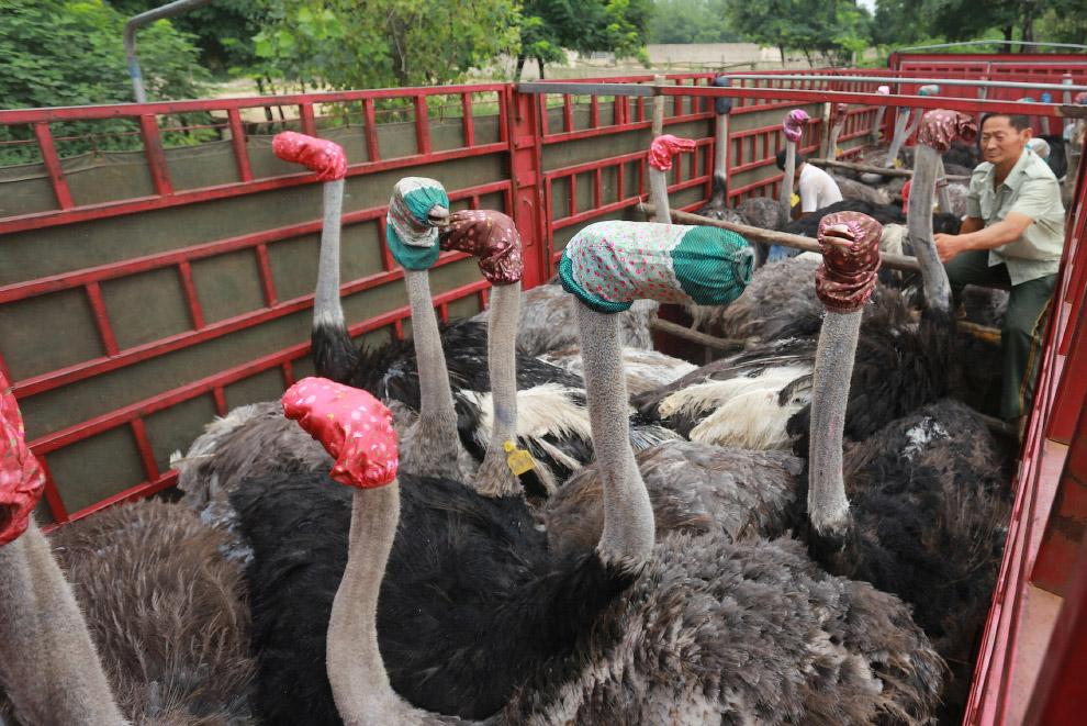 Перевозка страусов в фургоне выглядит весьма забавно