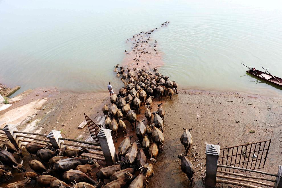 Китайские фермер и его буйволы переходят реку в провинции Сычуань
