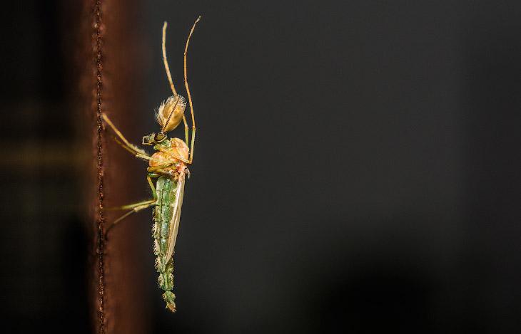 самец комара