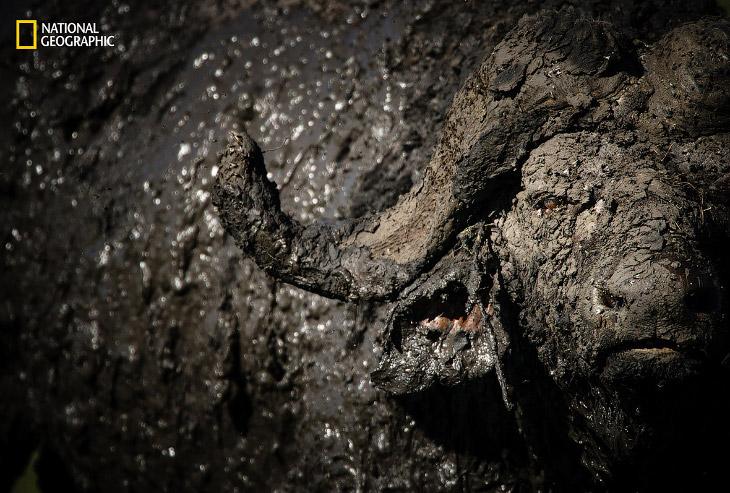 Буйвол принимает грязевые ванны, Масаи-Мара, Кения