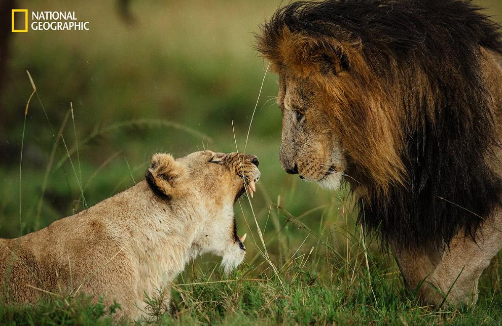 Львица прогоняет льва в Масаи-Мара, Кения