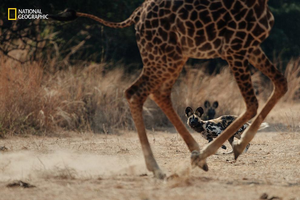 Африканская дикая собака и жираф