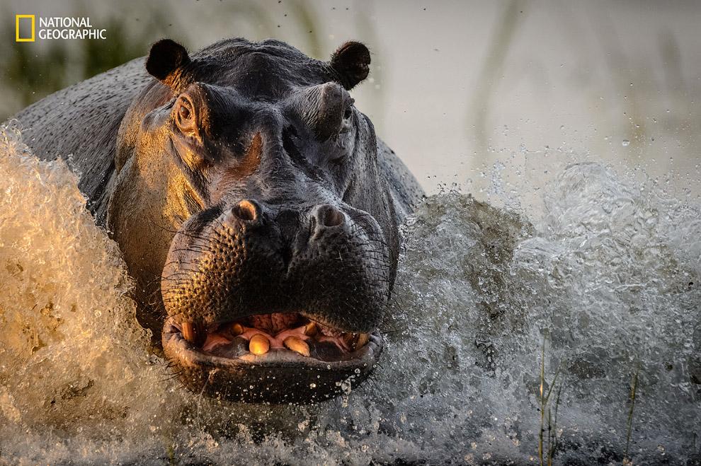 Опасный бегемот