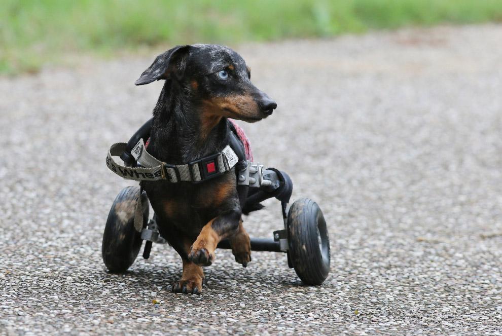 Такса в приюте для животных-инвалидов в Австралии