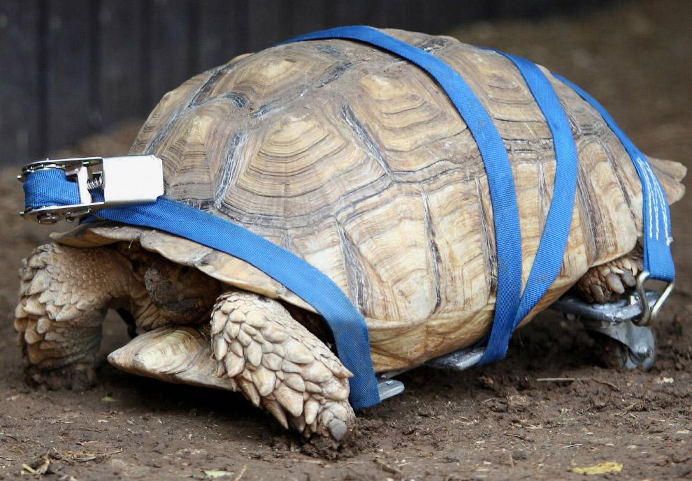 Эта 10-летняя шпороносная черепаха была неходячей с рождения