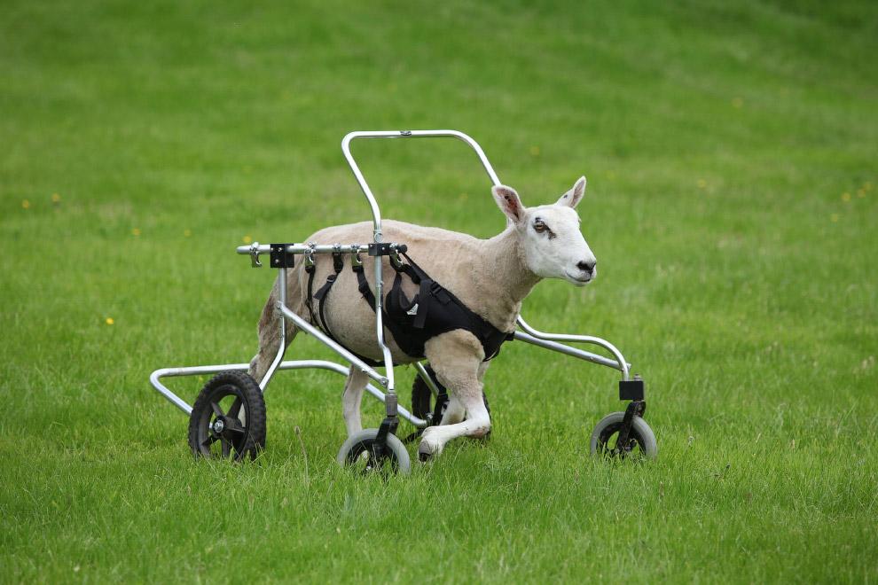 Овечка. Научилась со свистом бегать на своих новых колесах