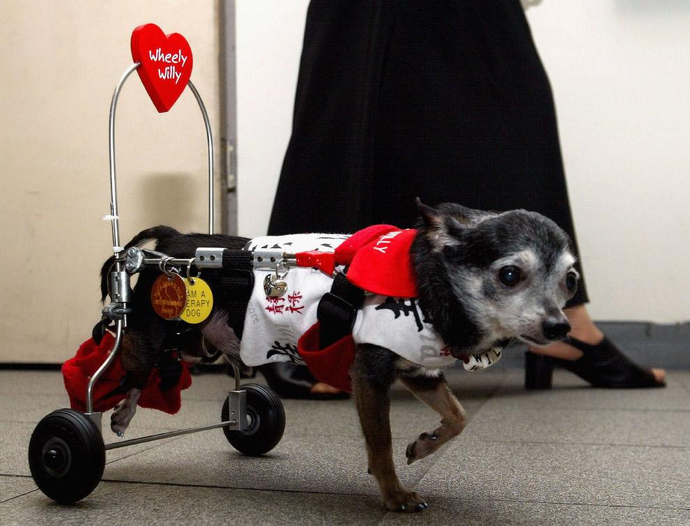 Чихуа́хуа — самая маленькая порода собак, названная в честь мексиканского штата Чиуау