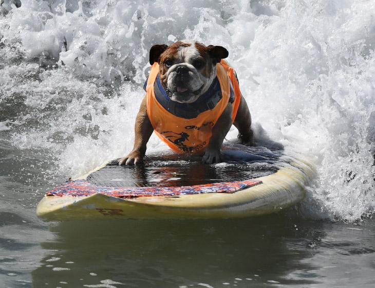 Соревнования по собачьему серфингу в Калифорнии