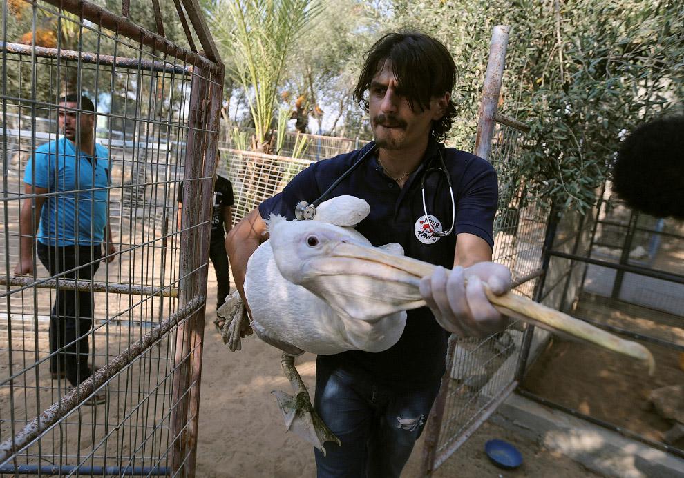 Одним из выживших оказался красивый пеликан