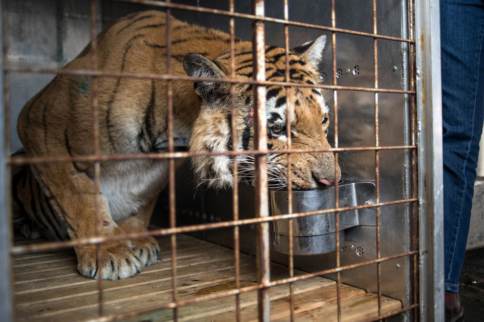 Последний тигр
