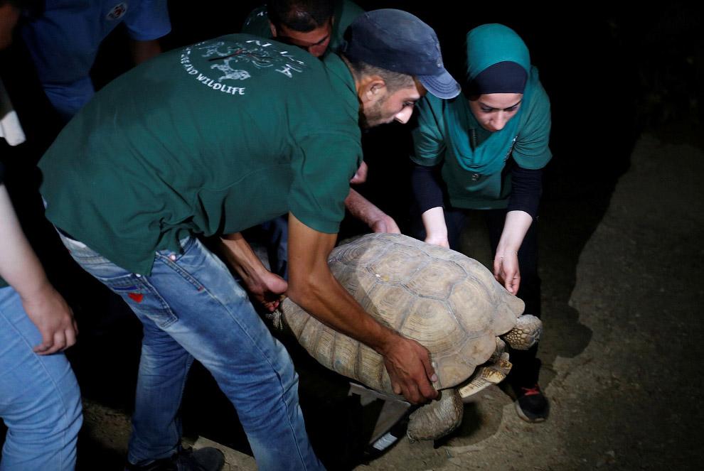 Черепаха прибыла на новое место в Амман, Иордания