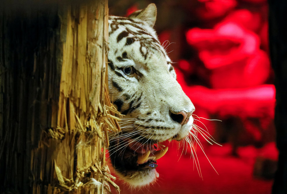 5-летний белый бенгальский тигр Хан в зоопарке Роев Ручей в Красноярске