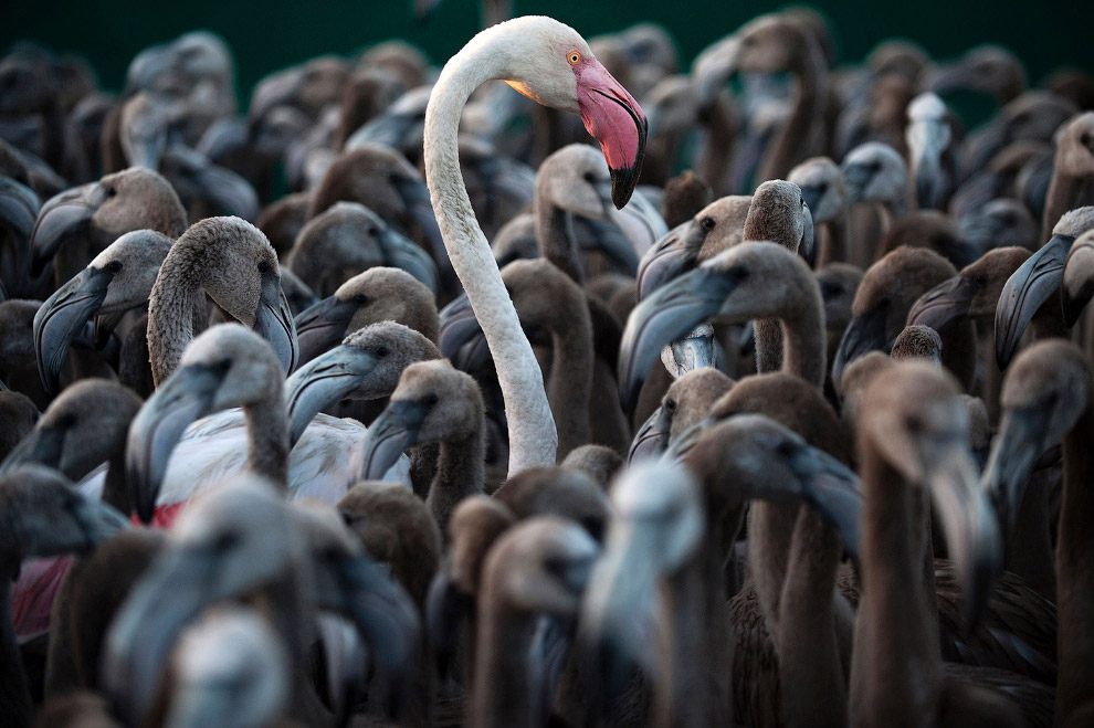 Фламинго на болотах на юго-западе Испании