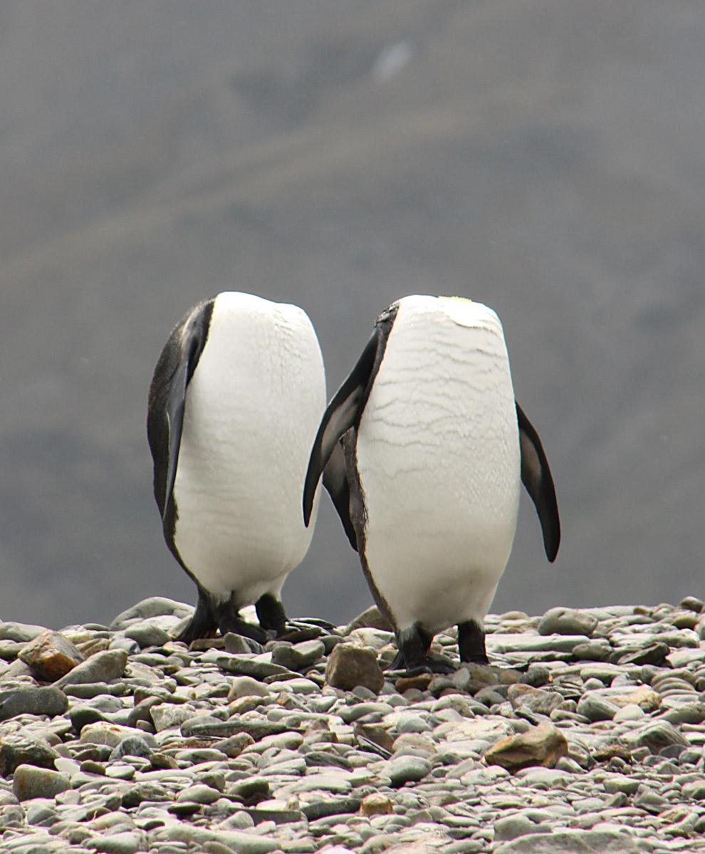 Безголовые пингвины