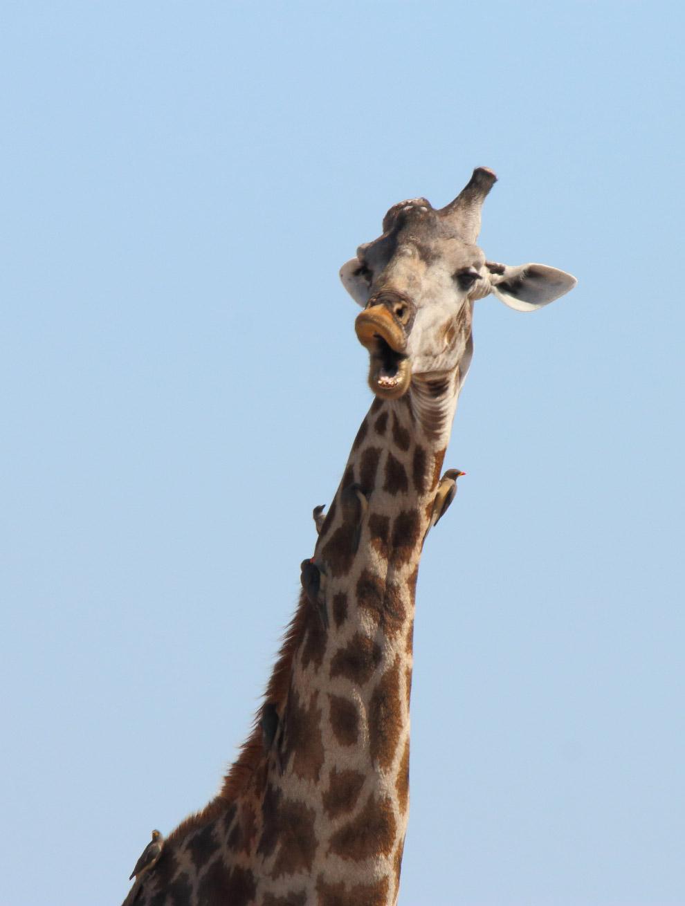 09s Конкурс на самые комедийные снимки животных