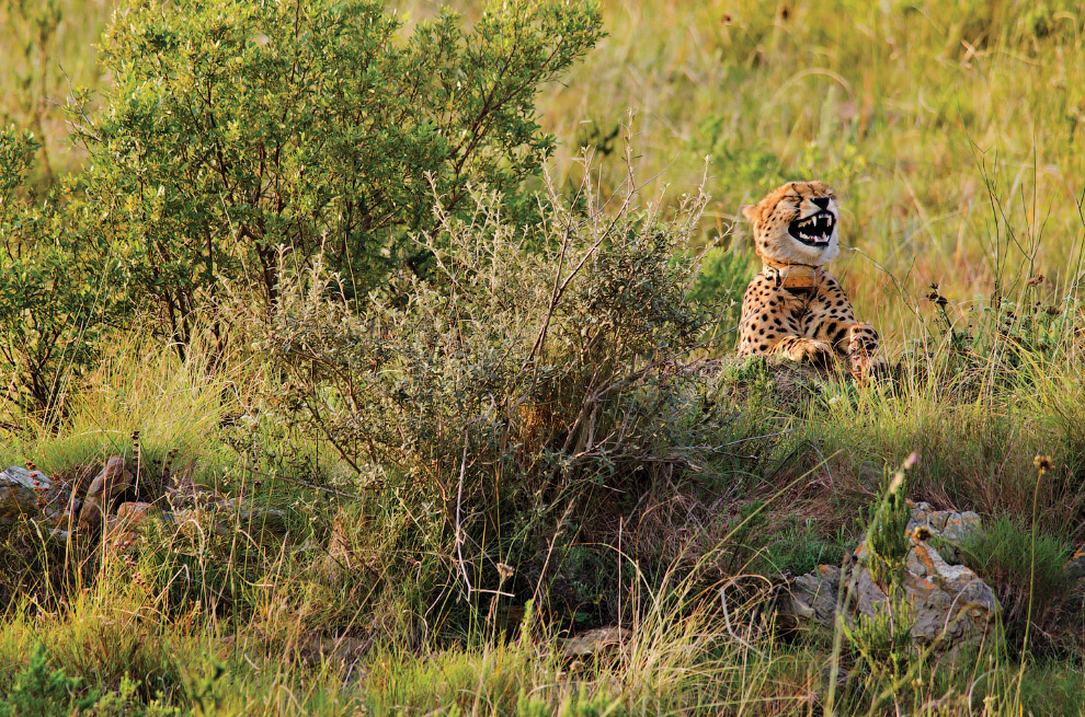 смеющийся гепард
